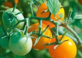 500 хил. лева държавна помощ за пръскане на домати
