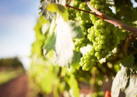От 15 юни приемат заявки за помощ срещу унищожаване на гроздето