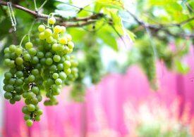 Над 1,5 млн. лева поискаха лозари, за да унищожат гроздето си