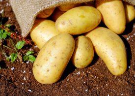 Голямо производство на картофи в ЕС сваля цените и на българската стока